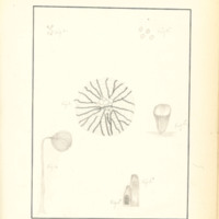 The Slime Moulds of Eastern Iowa by Minna Pryce Humphreys, 1891, Page 209