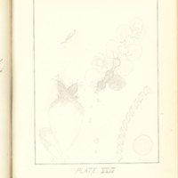 A brief description of nine species of Hepaticae found in the vicinity of Iowa City by Mary F. Linder, 1886, Page 104
