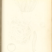 The fertilizing cell, its varying form and behavior by Nelly Peery, 1890, Page 96