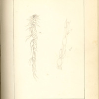 The Mosses of Iowa City and Vicinity by Annette Slotterbec, 1888, Page 40
